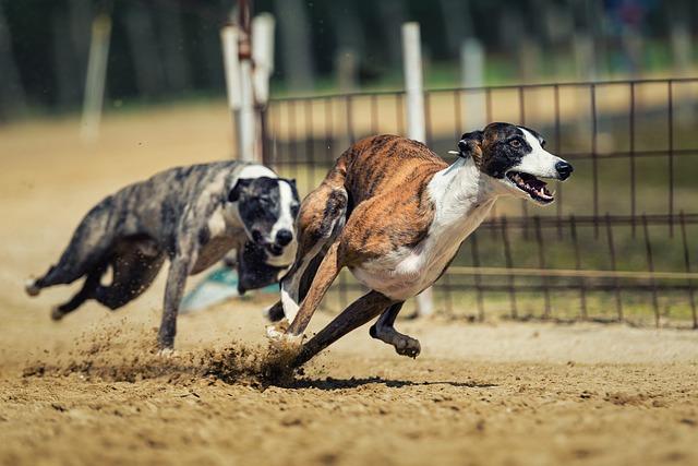 běh psa