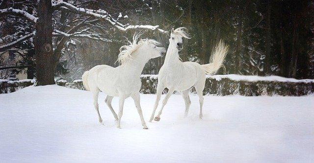 bílí koně ve sněhu